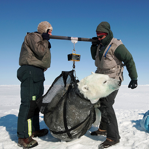 Weighing an adult polar bear