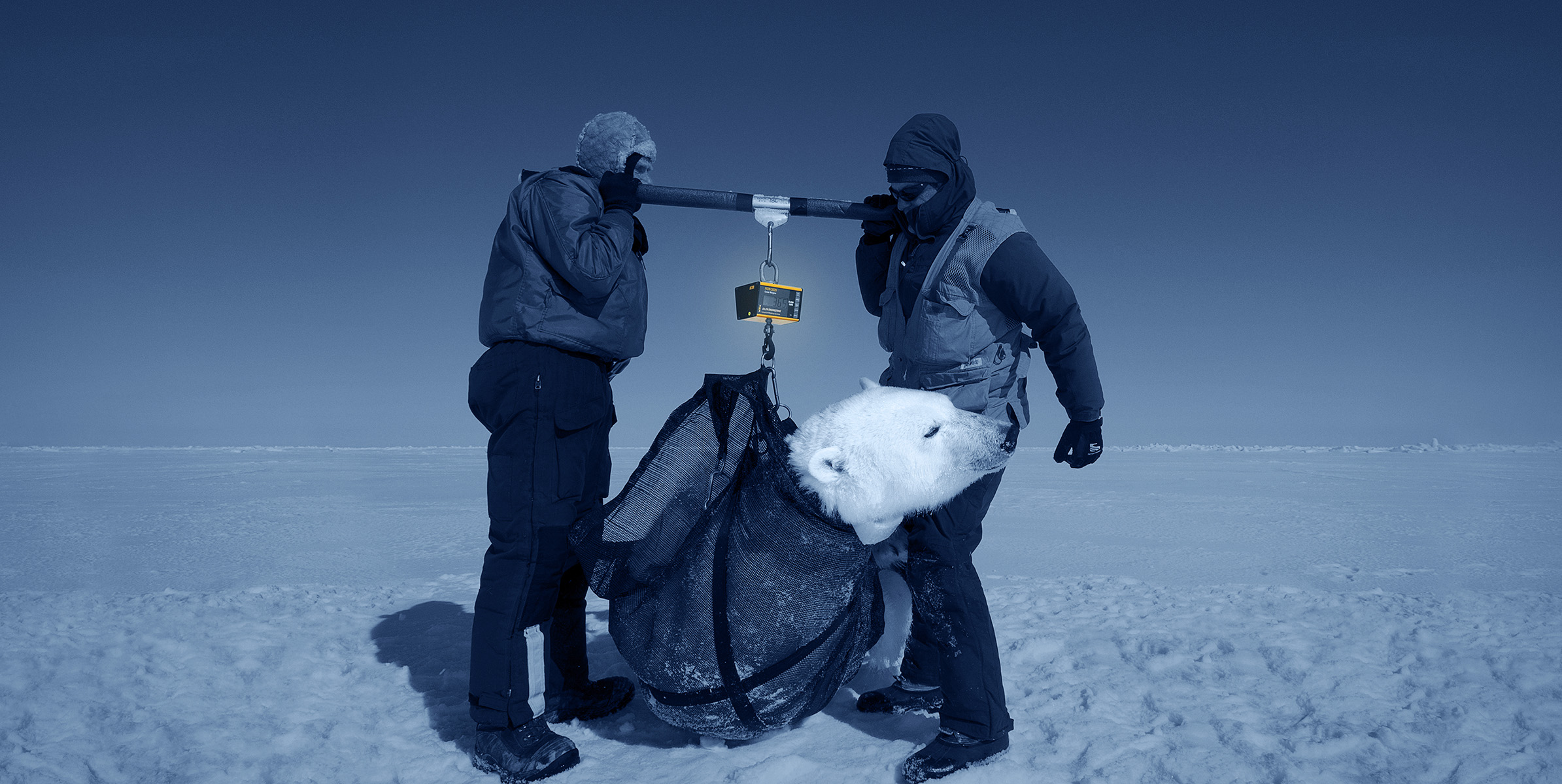 Two scientist use a bar to lift polar bear for weighing